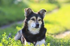 Een jonge zwarte hond die in het gras liggen Stock Afbeelding