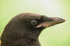 Een jonge zwarte kraai stock afbeeldingen
