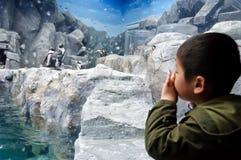 Een jongen die op de pinguïnen letten stock fotografie