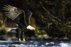 Een kale adelaar die over de rivier jacht voor diner in Haines Alaska vliegen stock afbeelding