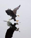 Een kale adelaar grijpt een vis. Stock Foto's