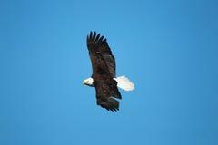 Een kale adelaar tijdens de vlucht Stock Afbeeldingen