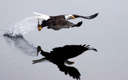 Een kale adelaar vliegt weg na de vangst. Stock Foto