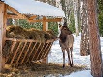 Een kalf van babyherten werd hongerig en kwam aan een trog met hooi in Altai, Rusland stock foto's