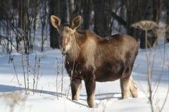 Een kalfsAmerikaanse eland wacht op mamma Stock Afbeeldingen