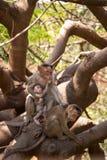 Een kalme en gekwetste moederaap die zijn twee babys behandelen stock foto's