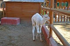 Een kameel Royalty-vrije Stock Foto