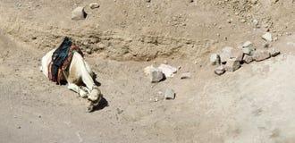 Een kameel Royalty-vrije Stock Fotografie