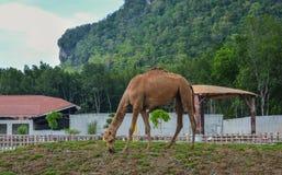 Een kameel bij de dierentuin royalty-vrije stock fotografie