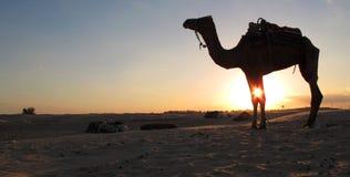 Een kameel in de woestijn Stock Foto