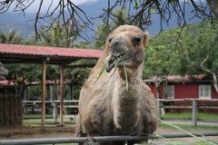 Een kameel in een toerismelandbouwbedrijf royalty-vrije stock foto's