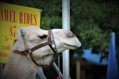 Een kameel in gevangenschap bij de markt royalty-vrije stock foto's