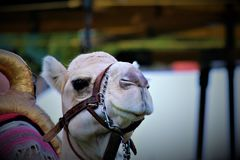 Een kameel in gevangenschap bij de markt royalty-vrije stock afbeeldingen