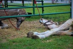 Een kameel in gevangenschap bij de markt stock foto