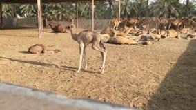 Een kameel op het landbouwbedrijf stock footage