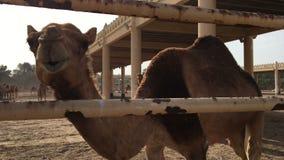 Een kameel op het landbouwbedrijf stock videobeelden