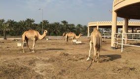 Een kameel op het landbouwbedrijf stock video