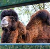 Een kameel verschijnt door een omheining royalty-vrije stock afbeelding