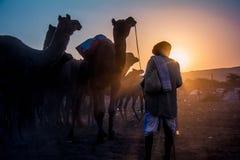 Een kameeleigenaar die zijn kudde van kamelen kalmeren bij kameelmarkt in Pushkar, Rajasthan, India stock fotografie