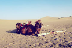 Een kameelteam Stock Afbeelding