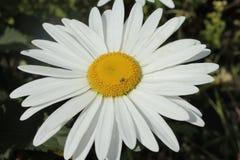 Een kamille is witte tuin, groeiend in een tuin op een bloembed Stock Afbeelding