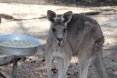 Een Kangoeroe Stock Afbeelding