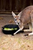 Een Kangoeroe die van een Grote Kom eten royalty-vrije stock fotografie