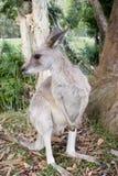 Een kangoeroe door een gumtree bij de Dierentuin van Australië Stock Afbeeldingen