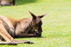 Een kangoeroe ongeveer om een dutje te nemen Stock Foto's