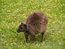 Een kangoeroe op Kangoeroeeiland Stock Afbeelding