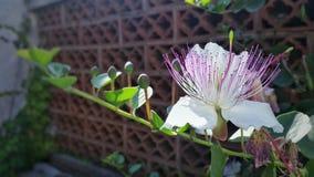 Een kappertjesbloem op een tuin Stock Afbeeldingen