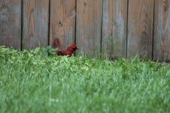 Een kardinaal in het gras Royalty-vrije Stock Foto