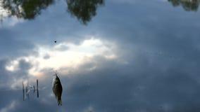 Een karper op de haak Een slechte vangst van vissen stock video
