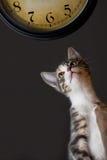 Een kat die een klok bekijkt Stock Fotografie