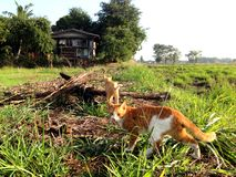 Een kat die op gebied lopen Stock Afbeelding