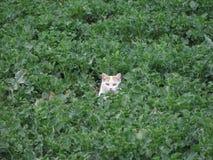 Een kat die op het gebied verbergen Stock Afbeelding