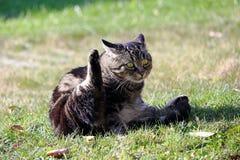 Een kat heft haar achterste poot op en kijkt grappig stock foto's