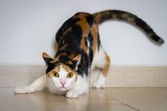 Een kat klaar aan te vallen stock foto's