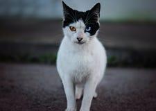 Een kat met verschillende ogen Stock Afbeeldingen