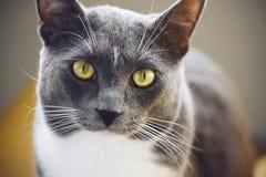 Een kat met een witte vlek op zijn voorhoofd en geelgroene ogen royalty-vrije stock fotografie
