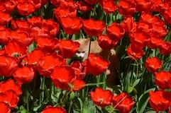 Een kat onder Rode tulpen Royalty-vrije Stock Afbeeldingen