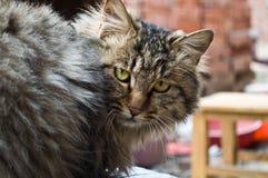 Een kat van de Familie Royalty-vrije Stock Afbeelding