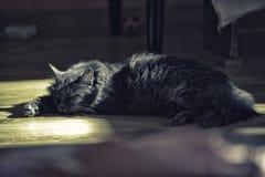 Een kat van zilveren kleur ligt op de vloer stock foto's