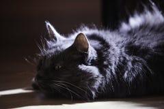 Een kat van zilveren kleur ligt op de vloer royalty-vrije stock foto