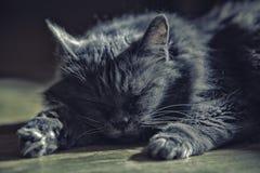 Een kat van zilveren kleur ligt op de vloer royalty-vrije stock foto's