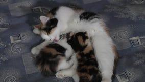 Een kat voedt melk van twee verschillend gekleurde katjes stock videobeelden