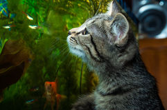 Een katje let op vissen in een aquarium stock foto