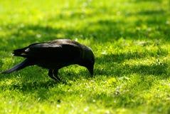 Een kauw op het groene gras stock afbeelding