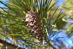 Een kegel is een pijnboom met een pijnboom-naald op een boom Royalty-vrije Stock Foto