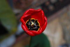 Een kern van rode tulp Royalty-vrije Stock Afbeelding